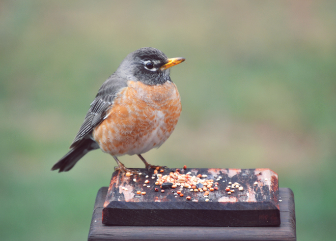 The Flying Clubhouse: Signs of Spring - Robin