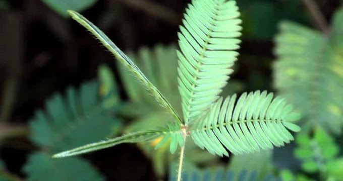 19 Health Benefits Of Touch-me-not Plant (mimosa Pudica )