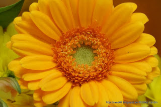 Gerbera Daisy by Ulrika