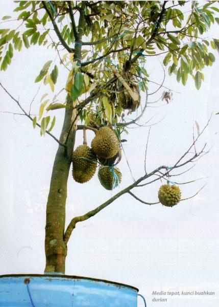 Teknik Tabulampot Durian Pohon Pendek Namun Berbuah Lebat