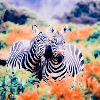 cute zebra couple whatsapp dp images
