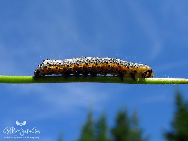 Pyrrhia Caterpillars 11 Photos +Video