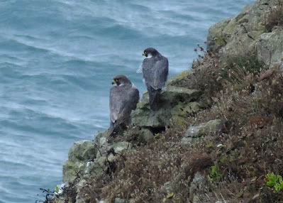 Peregrines at Tilly Whim © Peter Rudland