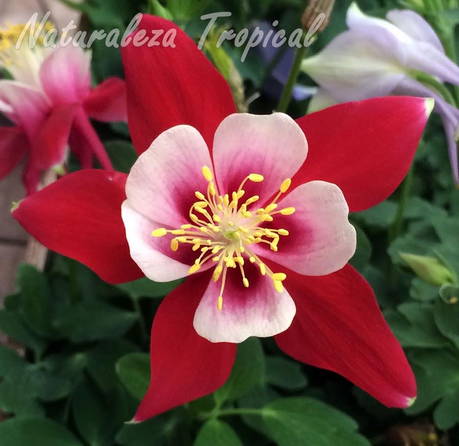 Flor con pétalos blanquecinos y sépalos rojos de una planta del género Aquilegia