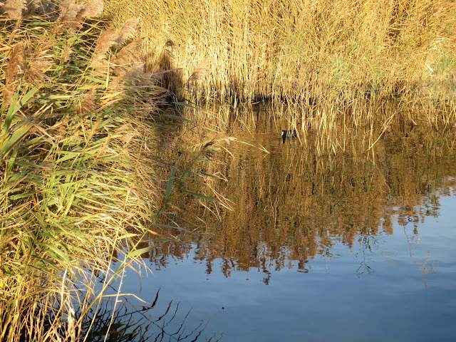 Coot among reeds reflected in water.