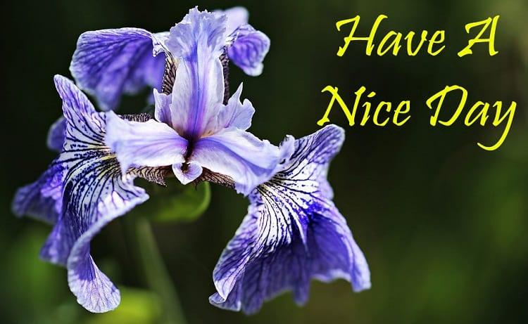 Good Morning Greetings with Iris Flowers