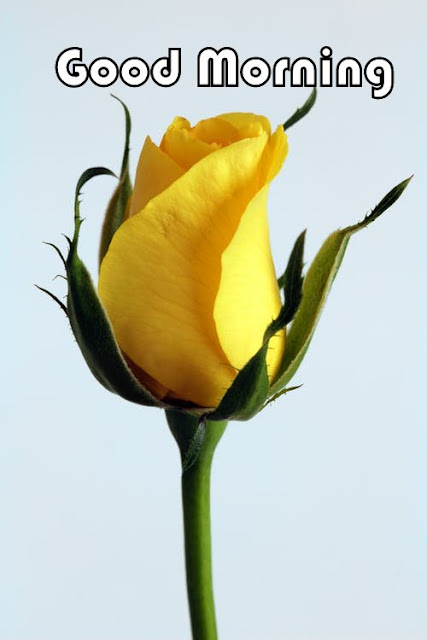 yellowRose Good Morning Image