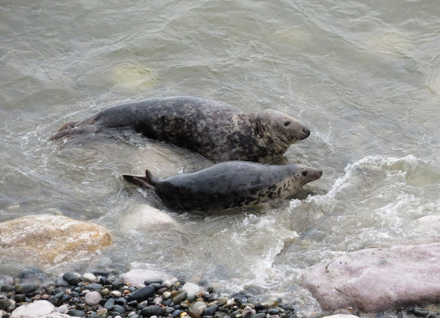 Grey Seals - Angel Bay, Little Orme