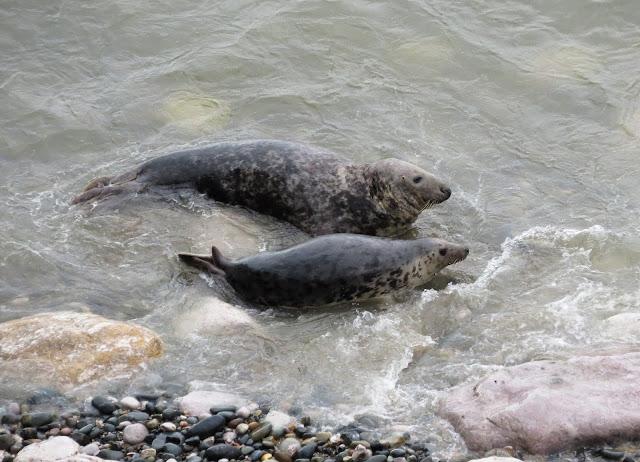 Grey Seals - Angel Bay, Little Orme