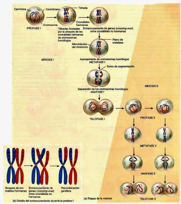 División celular somática y reproductiva