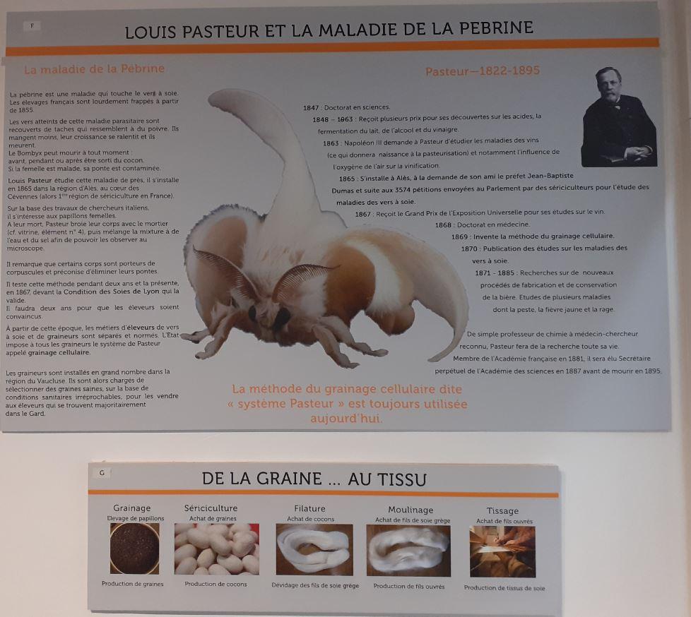 La maladie de la pébrine, découverte par Pasteur, et qui touche le ver à soie