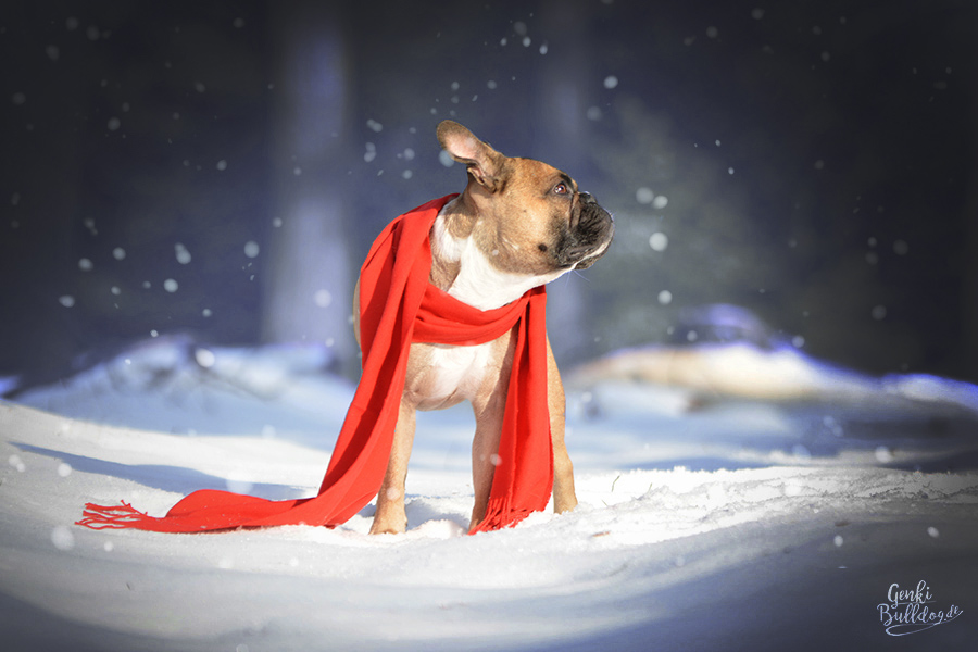 Hund Foto Französische Bulldogge Schnee