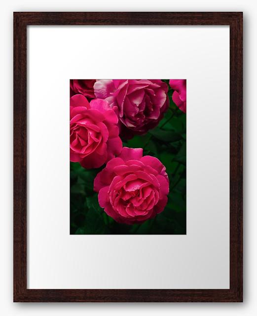 Hybrid pink roses Grande Dame are blooming