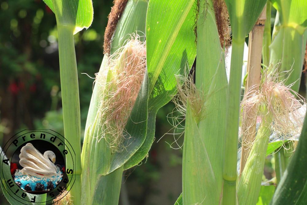 Tout savoir sur le maïs (pas à pas en photos)