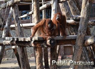 Orangután Rio Safari Elche