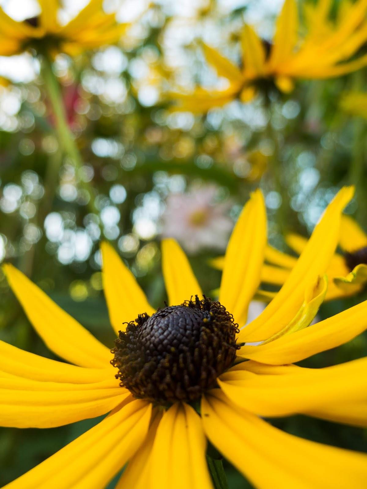 A close up of a Coneflower garden.
