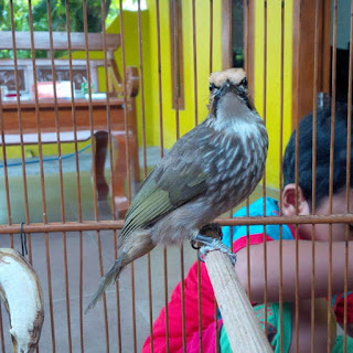 Burung Cucak Rowo - Fakor-Faktor yang Berpengaruh Pada Burung Cucak Rowo Masa Mabung - Penangkaran Burung Cucak Rowo
