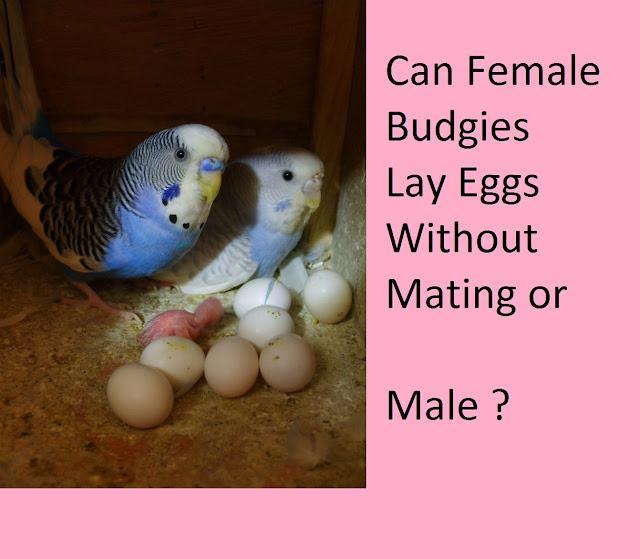 Female and male budgies with some eggs