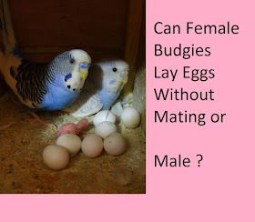 Do Female Budgies Lay Eggs Without Mating -Without Males -