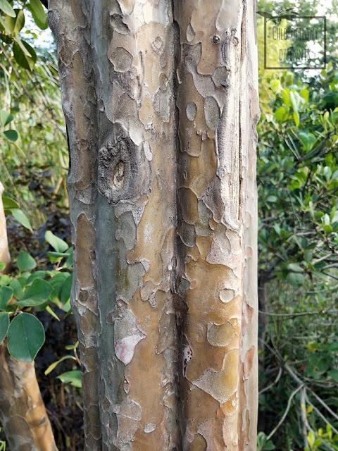 Pigwa chińska, pigwowiec chiński (Pseudocydonia sinensis/chinensis) - uprawa, opis, wygląd, występowanie, pochodzenie, hodowla, owocowanie, kwitnienie, smak, stanowisko. Jak uprawiać i hodować pigwę chińską w ogródku, jakie warunki klimatyczne, jak wysiać, posadzić, po ilu latach zaowocuje pigwa, dziwne, ciekawe i mało znane rośliny owocowe, dendrologia chińska, azjatyckie rośliny użytkowe, egzotyczne owoce pigwy, jak rośnie pigwa chińska? Jakie stanowisko? Jak podlewać i nawozić, hodować i uprawiać na zewnątrz w Polsce?
