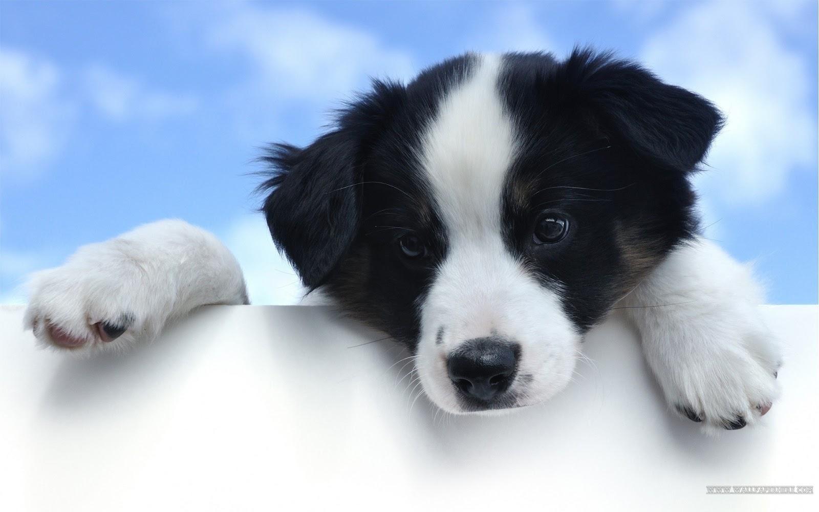 puppies wallpaper hd 235 - photo #6
