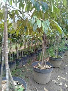 jual-bibit-durian-merah.jpg