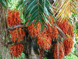 Peach Palm Fruit Pictures