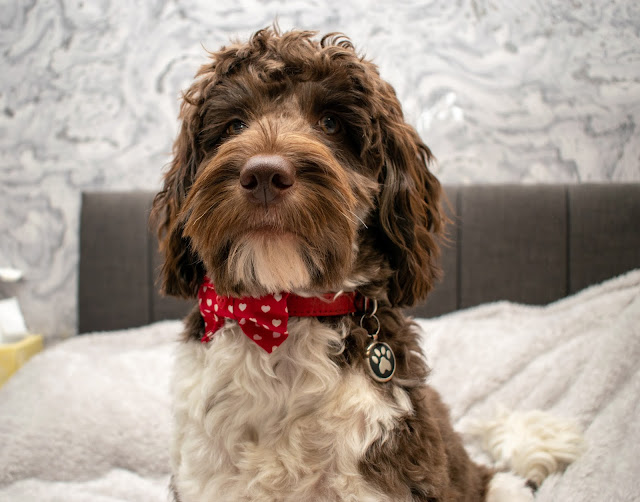 Brown and white cockapoo sat on bed wearing red and white heart bow tie