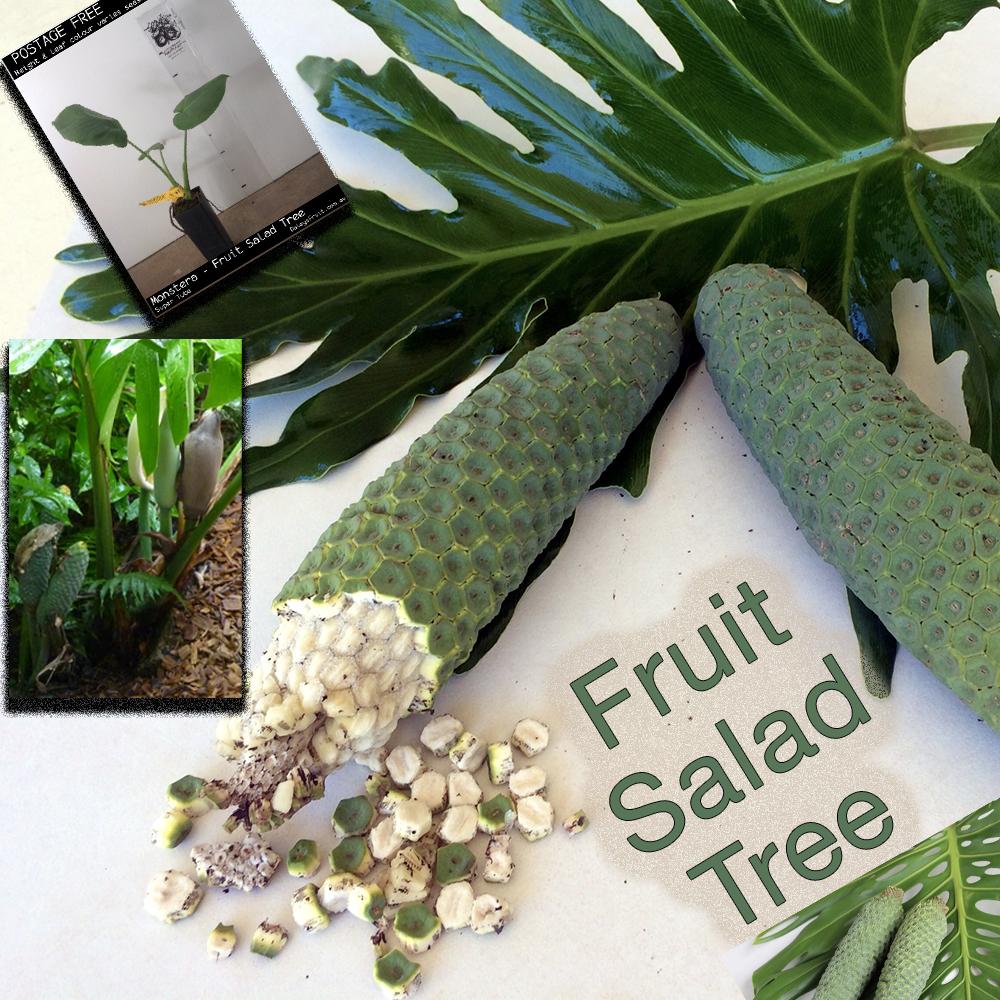 Daleys Fruit Tree Blog Eating Slowly The Monstera Fruit Salad Tree