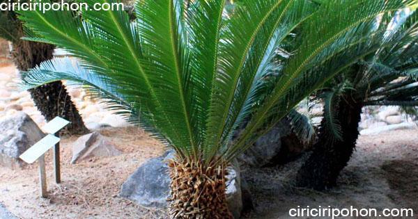 ciri ciri pohon palem sikas