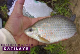 Essen Katilayu Ikan Nilem Khusus Harian