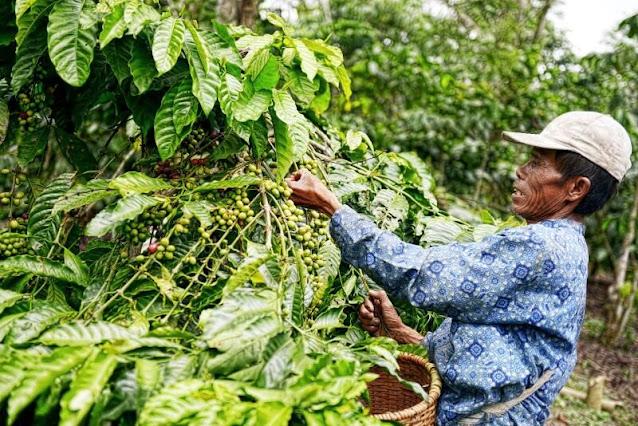 petani memetik kopi bengkulu