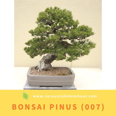 Bonsai Pinus (007)