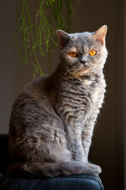 How to Take Care a Selkirk Rex - RictasBlog