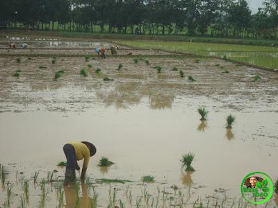 Tanam padi maju lebih cepat dan lebih gampang