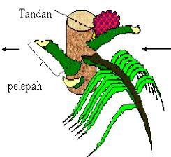 Pelepah daun