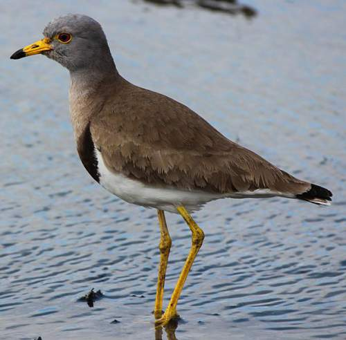 Indian birds - Picture of Grey-headed lapwing - Vanellus cinereus