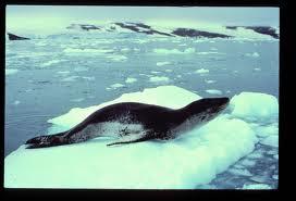 Leopad seal