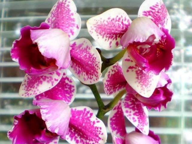 Orhideea Phalaenopsis pelorică