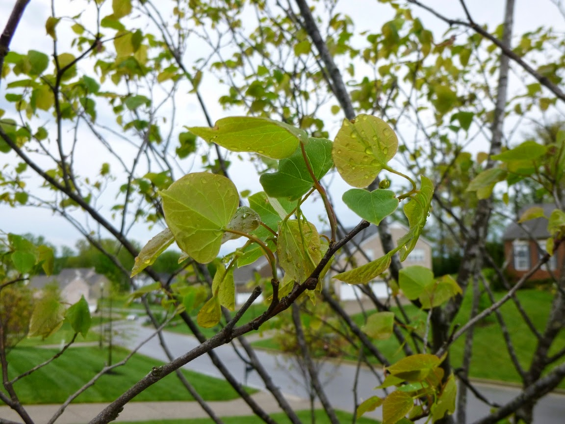 Beautiful new foliage on a Cercis canadensis (Redbud) tree.