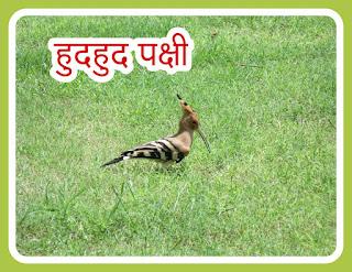 हुदहुद पक्षी के बारेमे जानकारी। Hudhud Bird.