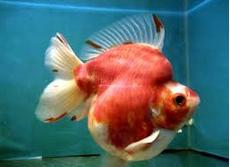 Jenis Ikan Koki Sakura