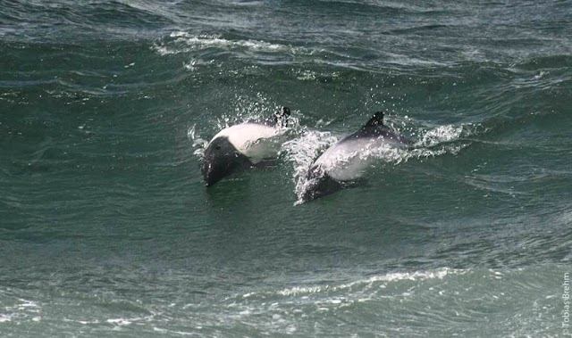 Huszonnyolc összetett hanggal kommunikálnak a Ross-tengeri kardszárnyú delfinek