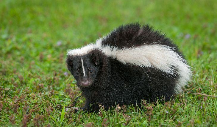 Sigung, Hewan dengan Bau Kentut Paling Mematikan di Dunia