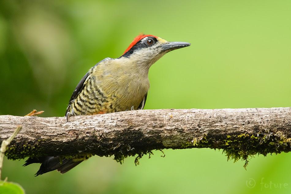 Viirselg-maskrähn, Melanerpes pucherani, Black-cheeked Woodpecker, rähn