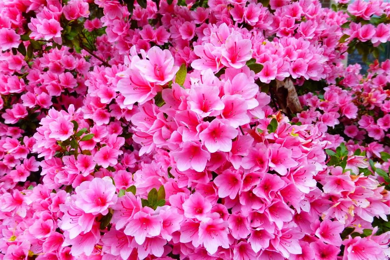 spring, azalea, spring 2015, azalea flowers, azalea blossoms, spring stroll, campus walk