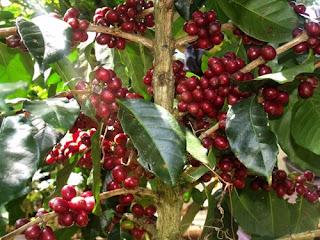 Budi daya dan Cara manen buah kopi