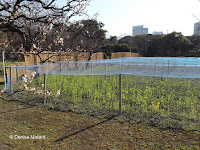 Mustard plot protected under netting - Hama-Rikyu Garden, Tokyo, Japan