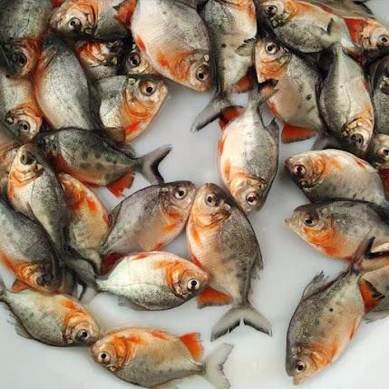 Supplier Jual Ikan Bawal Bibit & Konsumsi Gorontalo Paling Top