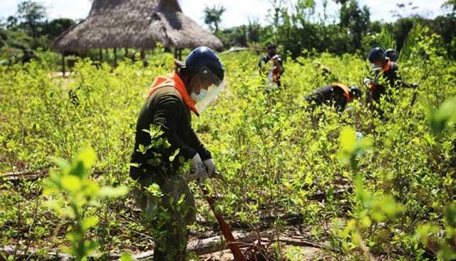 EEUU apoya al Perú en la erradicación de cultivos de hoja de coca